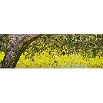 Sycamore tree in mustard field in spring at San Clemente Canyon San Diego County California USA Poster Print