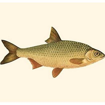 Small Antique Fish VI Poster Print by Vision studio (10 x 6)