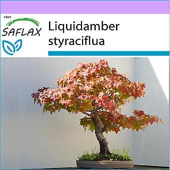 Saflax - 100 Samen - Bonsai - amerikanischer Amberbaum - Copalme d'Amérique - Storace Americano - Árbol del Ámbar - B - Amerikanischer Amberbaum