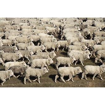 Stampa del manifesto del Piazzale pecore fattoria animali isola del Sud Nuova Zelanda di David Wall