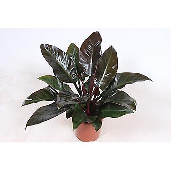 Klatring Philodendron ↕ 80 til 120 cm fås med   Philodendron Kejserlig Rød