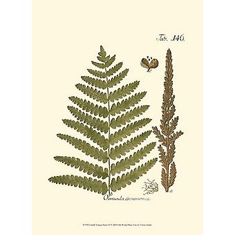 Small Antique Fern VI Poster Print by Vision studio (10 x 13)