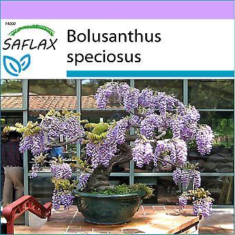 Saflax - 15 semillas - Bonsai - árbol africano de la glicina - glicocola arbre - Glicine africano - Glicinia africana - B - Afrikanischer Blauregen