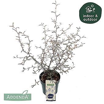 Maori Corokia ↕ 30 cm available with planter | Corokia Cotoneaster