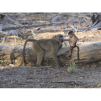 Affenbaby mit seiner Mutter Okavango Delta Ngamiland Botswana Poster Print
