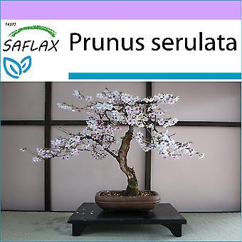 Saflax - 30 semillas - Bonsai - cerezo negro silvestre - Cerisier du Japon - Ciliegio del Giappone / Sakura - Cerezo japonés - B - Japanische Blütenkirsche