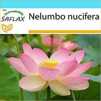 Saflax - regalo conjunto - 8 semillas - sagrada India Lotus - Lotus sagrado - Fior di loto asiatico - Lloto sagrado - Indische Lotusblume