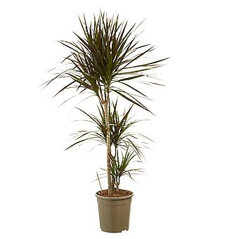 Indoor tree from Botanicly – Dragon tree – Height: 125 cm, 3 stems – Dracaena marginata Margenta