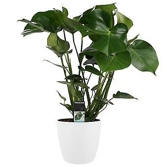 Pianta d'appartamento – Monstera in vaso bianco come set – Altezza: 55 cm