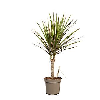 Drakenboom ↕ 45 tot 115 cm verkrijgbaar met bloempot | Dracaena Marginata Bicolor