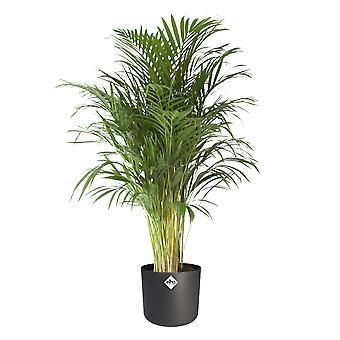 Dypsis Areca Golden Palm w ELHO® B.FOR SOFT ozdobny garnek wąglik - Wysokość 125 cm - Garnek średnicy 24 cm