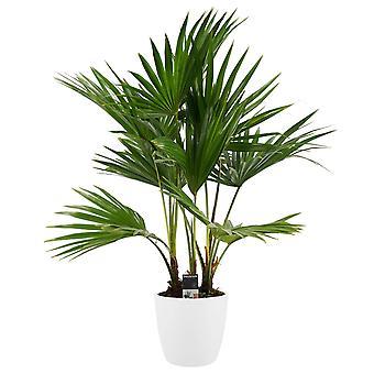 Fläktpalm ↕ 100 cm finns med planter | Livistona Rotundifolia