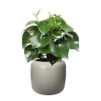 BOTANICLY Pilea peperomioides - Ufopflanze