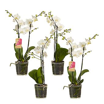 Choice of Green - Phalaenopsis multiflora White - Set of 4 - Butterfly Orchid