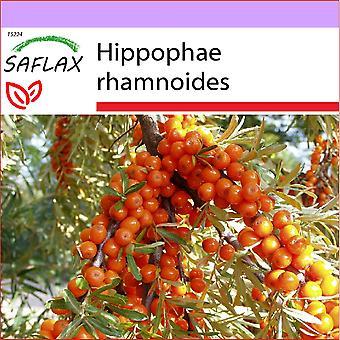 Saflax - 40 zaden - Sea Buckthorn - Argousier - Olivello spinoso - Espino amarillo - Sanddorn