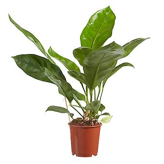 Choice of Green - 1 Anthurium Jungle King - Flamingoplant