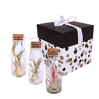 Cacti & Succulent Plants from Botanicly – 3 × Air plant Gift-Set – Height: 15 cm – Tillandsia