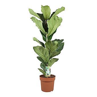 Fiolblad fikon ↕ 79 till 150 cm finns med planter | Ficus lyrata (ficus lyrata)