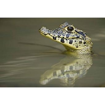 Close-up of a caiman in lake Pantanal Wetlands Brazil Poster Print by Panoramic Images (16 x 11)