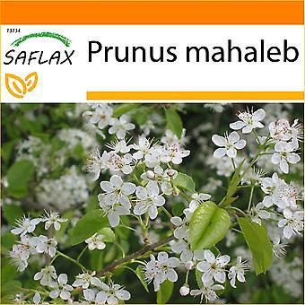 Saflax - jardín en la bolsa - 30 semillas - Mahaleb cerezo - Cerisier de Sainte-Lucie - Ciliegio canino - Cerezo de Santa Lucía - Felsenkirsche