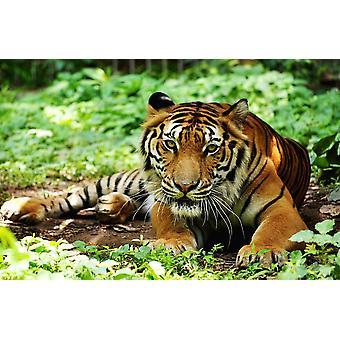 Wall Mural Indochina Tiger