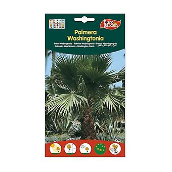 PalmUnsiemen Whashingtonia Filifera 1 yksikkö