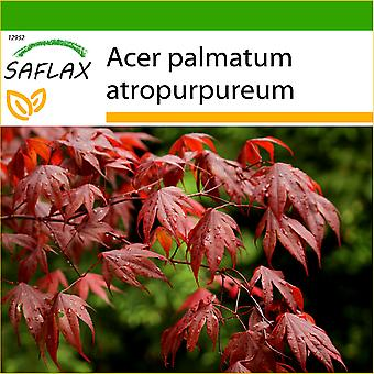 Saflax - 20 semi - Con terra - Acero rosso giapponese - Erable du Japon pourpre - Acero palmato rosso / Acero giapponese rosso - Arce japonés - Roter Fächerahorn