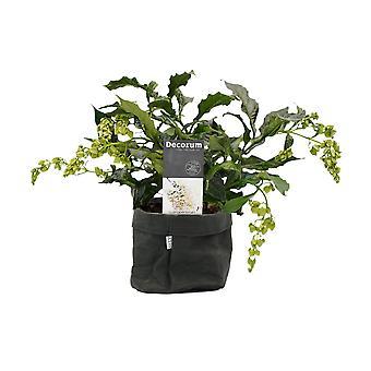 Fleur de Botanicly – Clerodendrum prospero – Hauteur: 35 cm