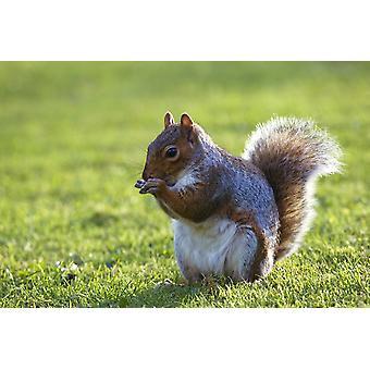 Wiewiórka na trawie PosterPrint