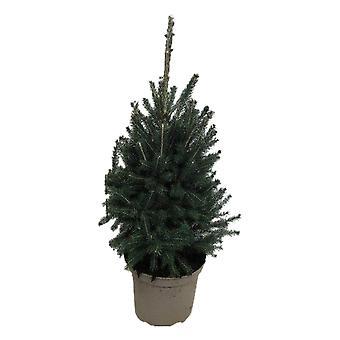 Arbre de Botanicly – Picea glauca Super Green – Hauteur: 95 cm