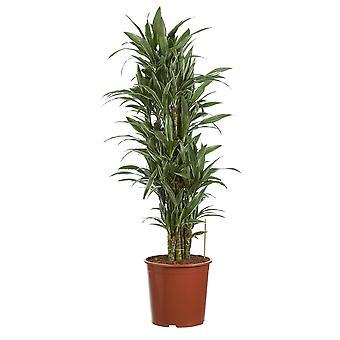 Dracaena deremensis Warneckei Drakenboom - Hoogte 120 cm - Diameter pot 27 cm