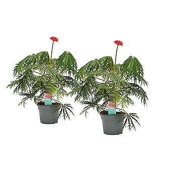 Plantes d'intérieur de Botanicly – 2 × Jatropha multifida – Hauteur: 35 cm