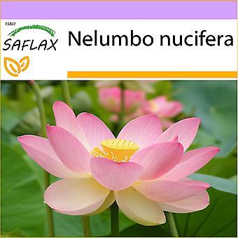 Saflax - 8 semillas - sagrada India Lotus - Lotus sagrado - Fior di loto asiatico - Lloto sagrado - Indische Lotusblume