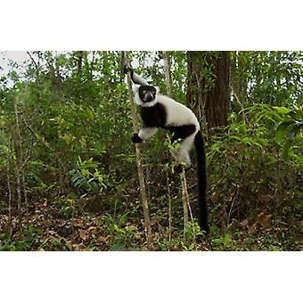 Lemur Madagascar Poster Print von Andres Morya Hinojosa