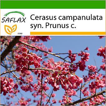 Saflax - 10 semi - con terreno - Taiwan Cherry - Cerisier de Taïwan - Ciliegio di Taiwan - Cerezo ácido - Taiwan - Zierkirsche