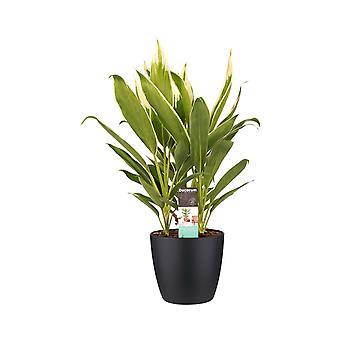 Kamerplant van Botanicly – Cordyline indivisa incl. sierpot zwart als set – Hoogte: 60 cm