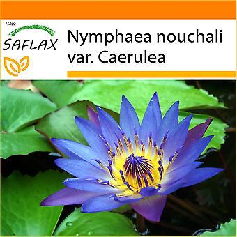Saflax - tuin in de zak - 15 zaden - Blauwe Lotus - Lotus bleu - Loto blu-dell'India - Loto azul - Blaue Seerose