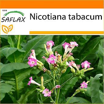 Saflax - jardín en el bolso - 250 semillas - tabaco común - Tabac - Pianta del tabaco - Tabaco de Virginia - sin embargo Virginischer Tabak