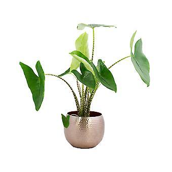 Indendørs plante – Elefantøre i rosaguldmetalpotte som sæt – Højde: 80 cm