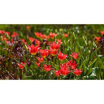 Næroptagelse af tulipan blomster, der blomstrer plakat Print af panoramabilleder