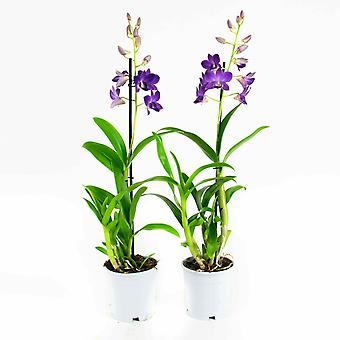 Choice of Green - Set of 2 Dendrobium or - Sa Blue Happiness Orchidee