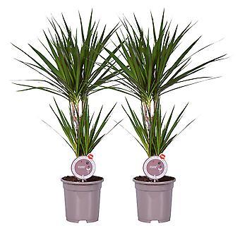 MoreLIPS® - 2 lohikäärmeen veripuuta - ilmaa puhdistavat huonekasvit - taupe-kasvattajapaikalla Dracaena marginata