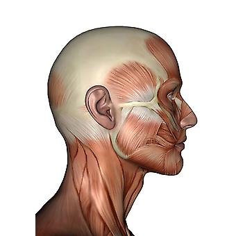 Human anatomy of male facial muscles profile view Poster Print by Elena DuvernayStocktrek Images