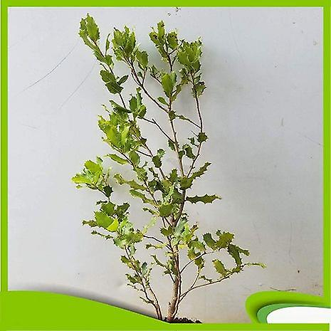 Quercus coccifera (kermes oak) - Plant