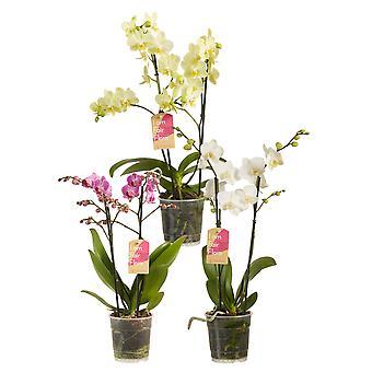 Phalaenopsis multiflora Mixed Colors Butterfly Orchid - Wysokość 50 cm - Garnek o średnicy 12 cm