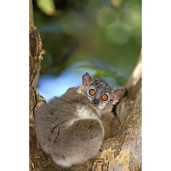 Di lemure madagascar Berenty riserva Whitefooted stampa del manifesto di Pete Oxford