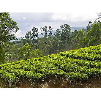 Tea plants on hillside seen from Norwood Bungalow of Ceylon Tea Trails Nuwara Eliya Central Province Sri Lanka Poster Print