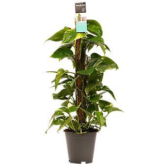 Zimmerpflanze von Botanicly – Efeutute – Höhe: 80 cm – Epipremnum Aureum