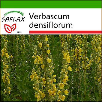 Saflax - 500 seeds - With soil - Large Flowered Mullein - Molène à fleurs denses - Verbasco falso barbasso - Gordolobo - Großblumige Königskerze