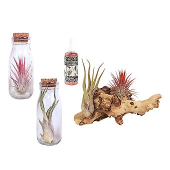 Breasy®-Bromeliad Tillandsia-Air plants